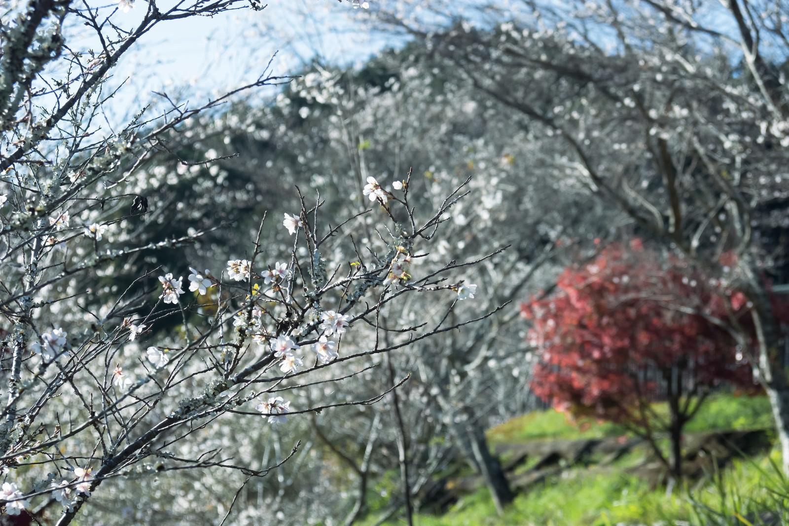 「秋に咲く四季桜」の写真