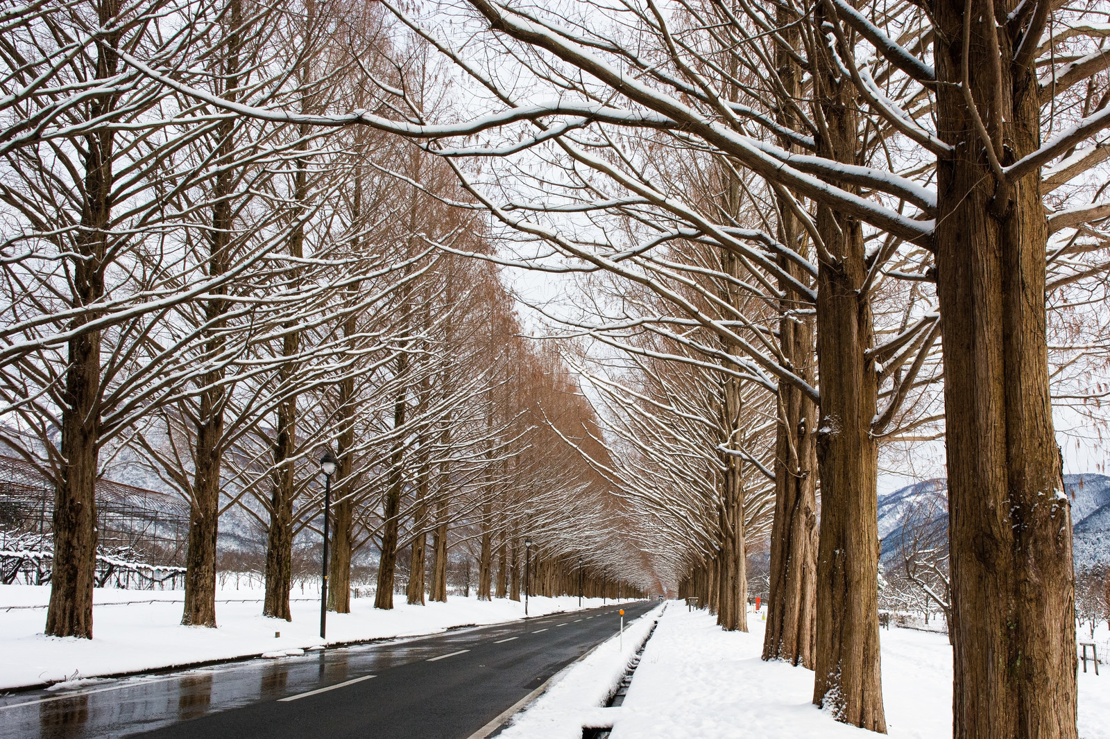 「雪景色のメタセコイア並木(滋賀県高島市マキノ町)」の写真