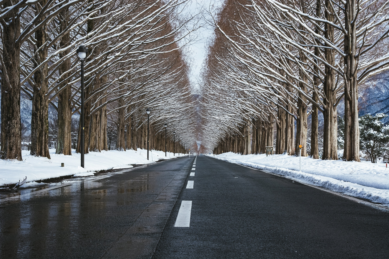 「雪解けに濡れた路面とメタセコイア(滋賀県高島市マキノ町)」の写真