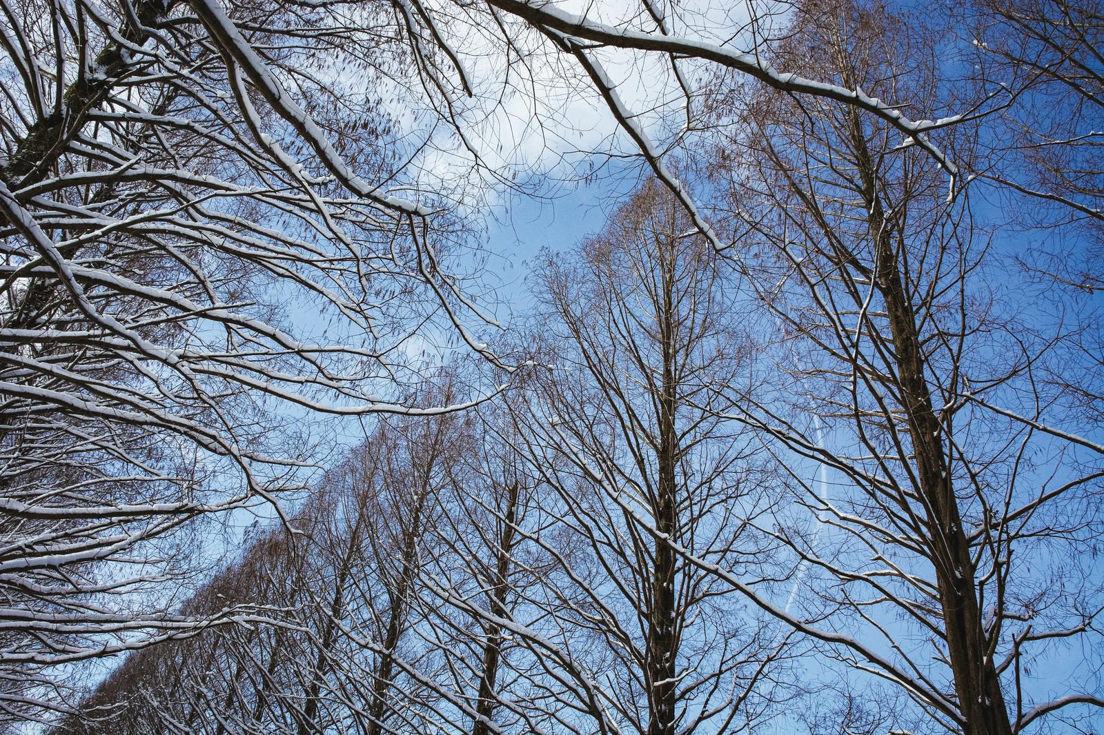 「着雪したメタセコイア越しに見える青空(滋賀県高島市マキノ町)」の写真
