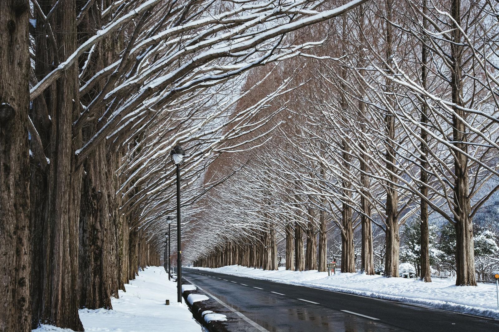 「メタセコイア並木に溶け込む街頭(滋賀県高島市マキノ町)」の写真