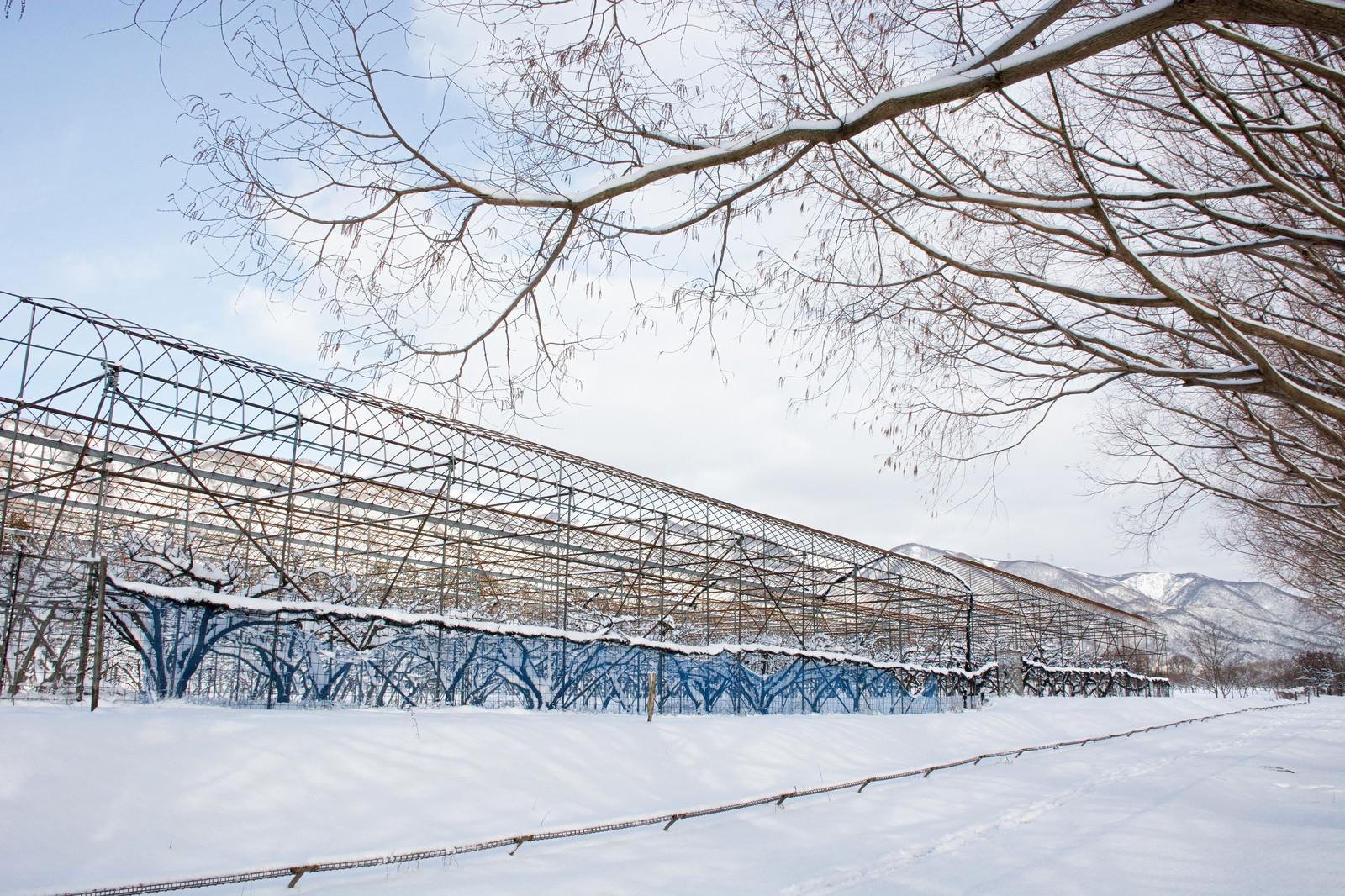 「メタセコイア並木沿いの積雪のパイプハウス(マキノ高原)」の写真