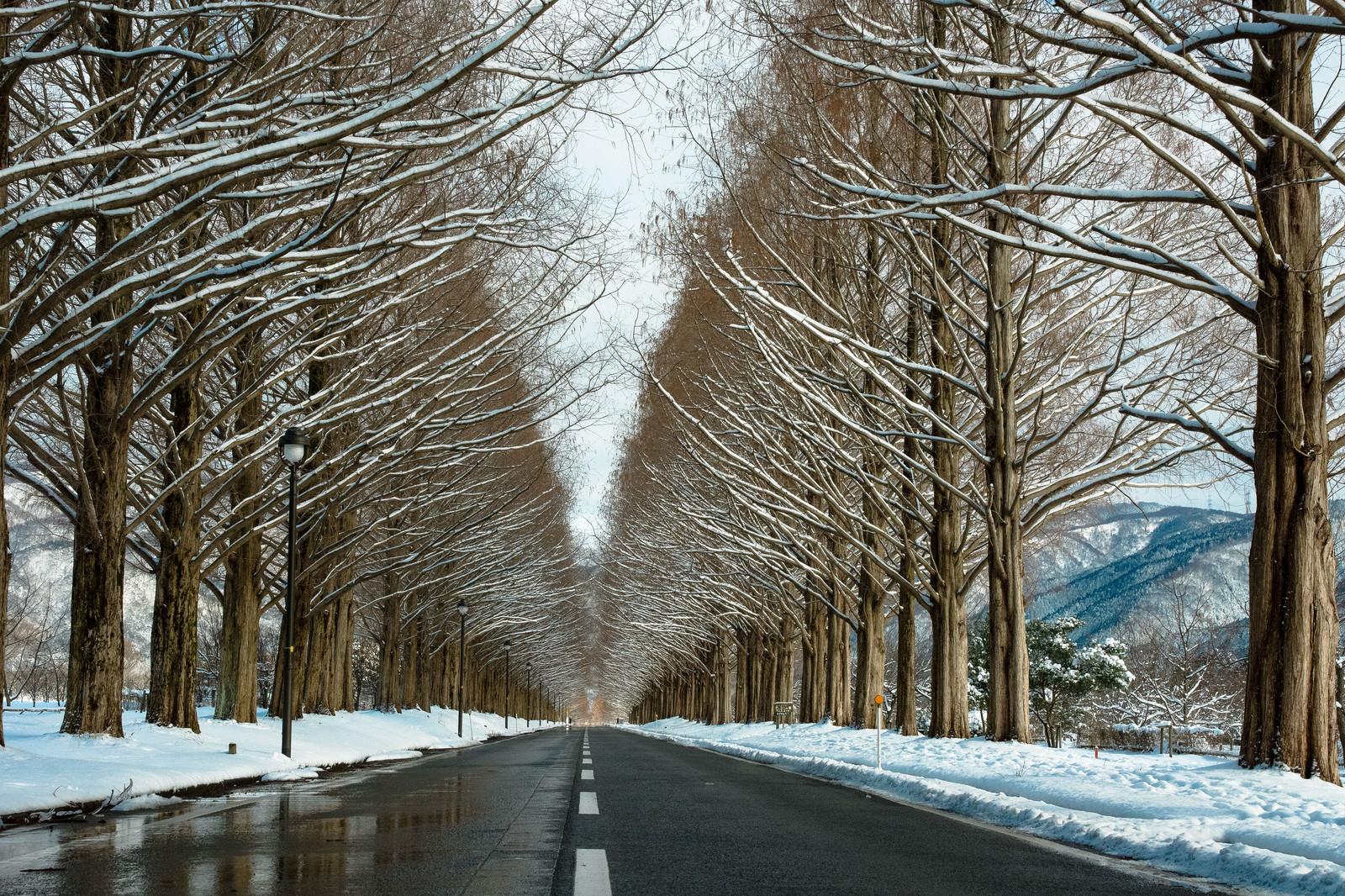 「雪を纏うメタセコイア並木」の写真