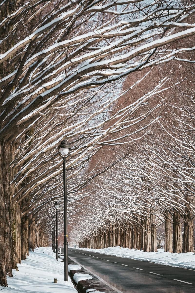 「どこまでも続くメタセコイア並木と街灯(滋賀県高島市マキノ町)」の写真