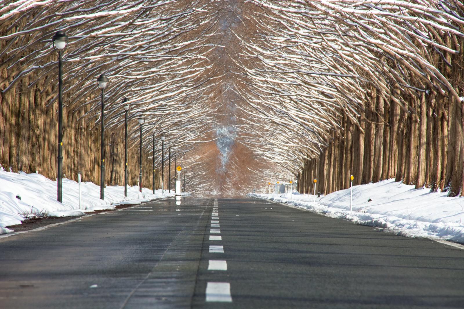 「車道を覆うメタセコイア並木(滋賀県高島市マキノ町)」の写真