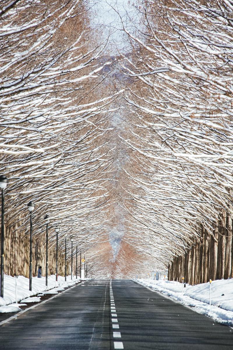 「雪を纏うメタセコイア並木と車道(滋賀県高島市マキノ町)」の写真