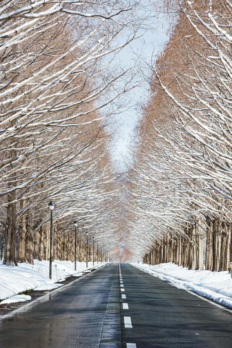 「等間隔に設置される街灯とメタセコイア並木(マキノ高原)」の写真