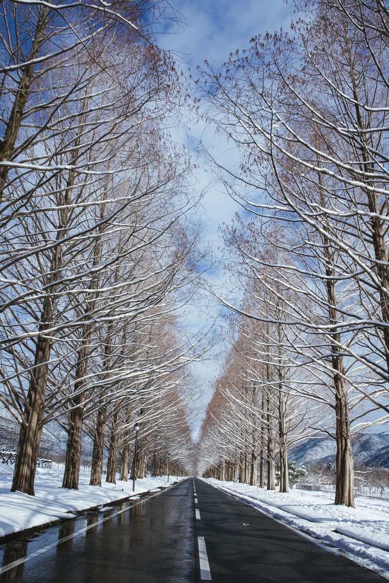 「青空に聳え立つ雪化粧のメタセコイア並木(マキノ高原)」の写真