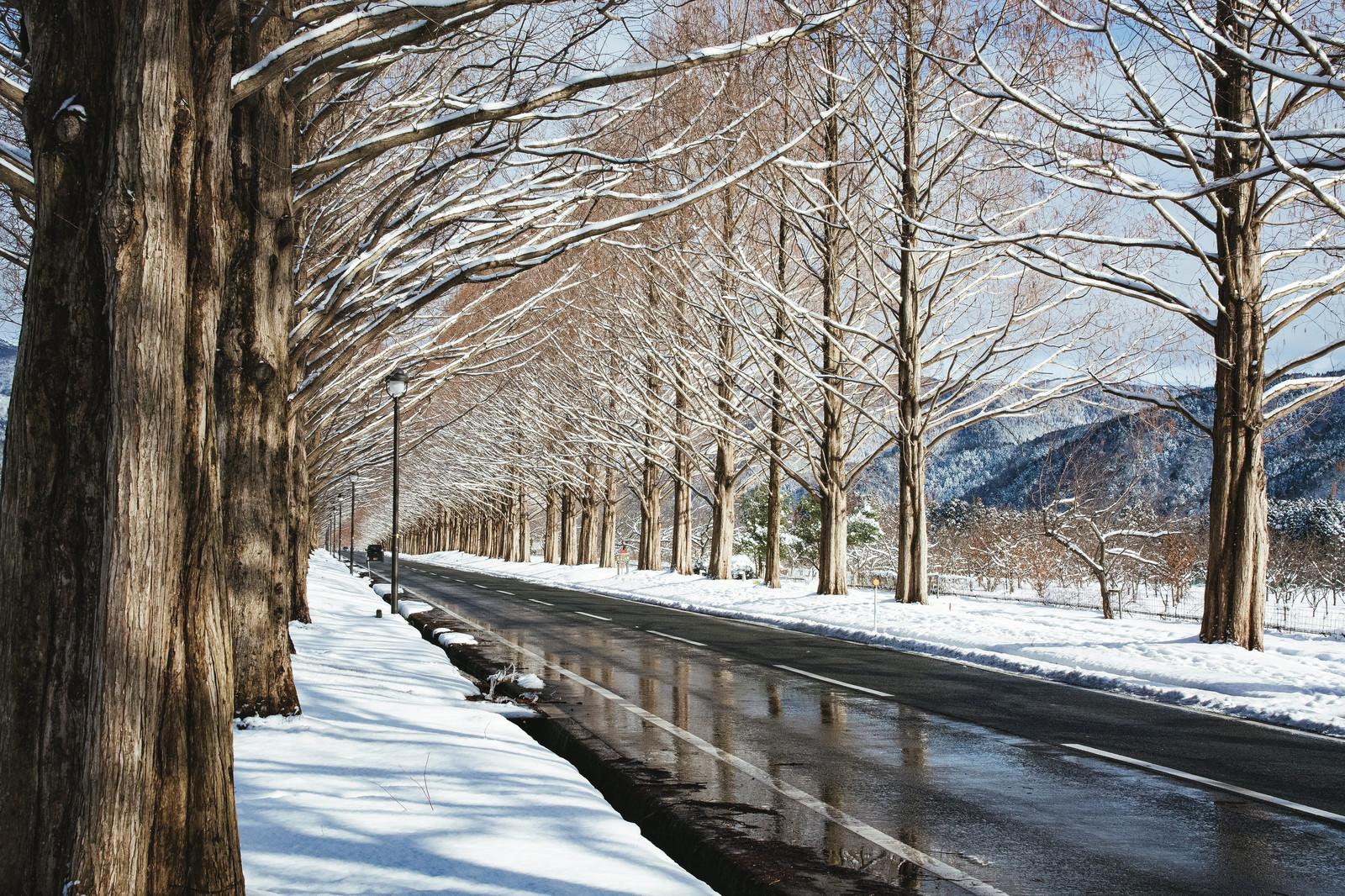「路面に反射するメタセコイア並木(滋賀県高島市マキノ町)」の写真