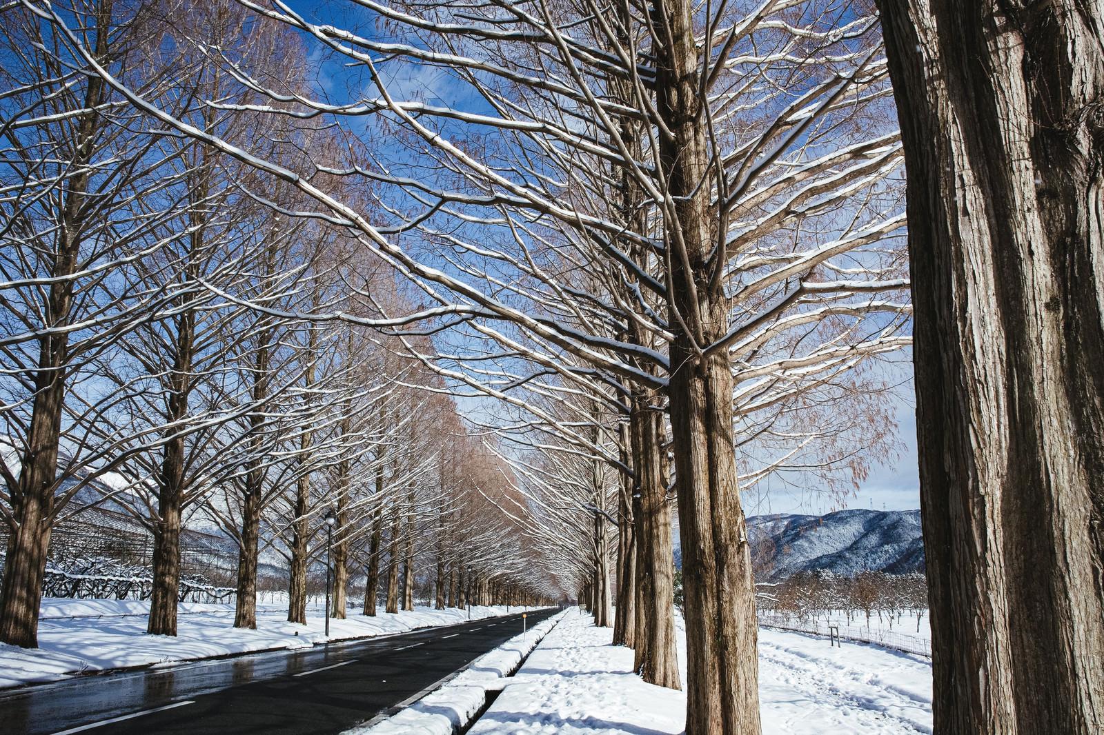 「青空がのぞく雪景色の並木道(滋賀県高島市マキノ町)」の写真