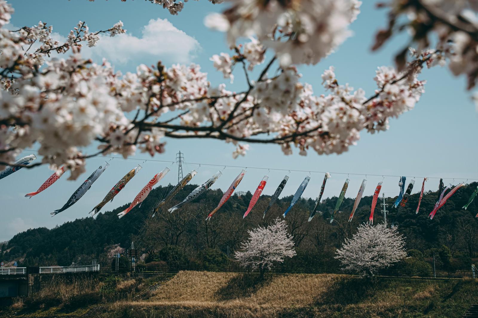 「桜の枝越しに並ぶ鯉のぼり」の写真