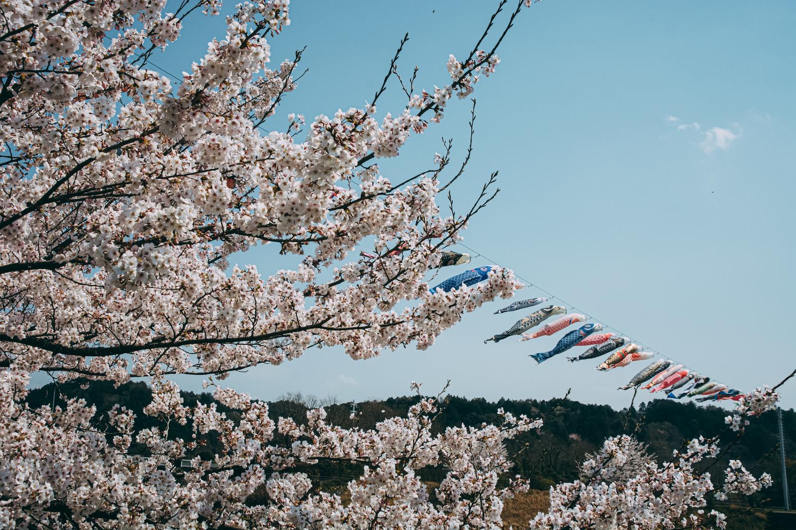 「満開の桜と青空の中泳ぐ鯉のぼり」の写真