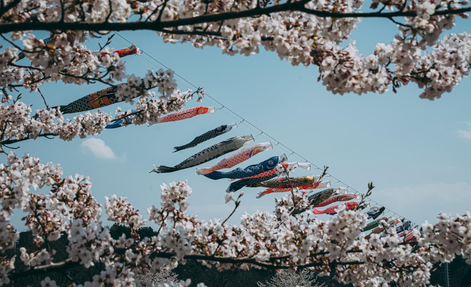 「青空の下気持ちよく泳ぐ鯉のぼりを桜とともに」の写真