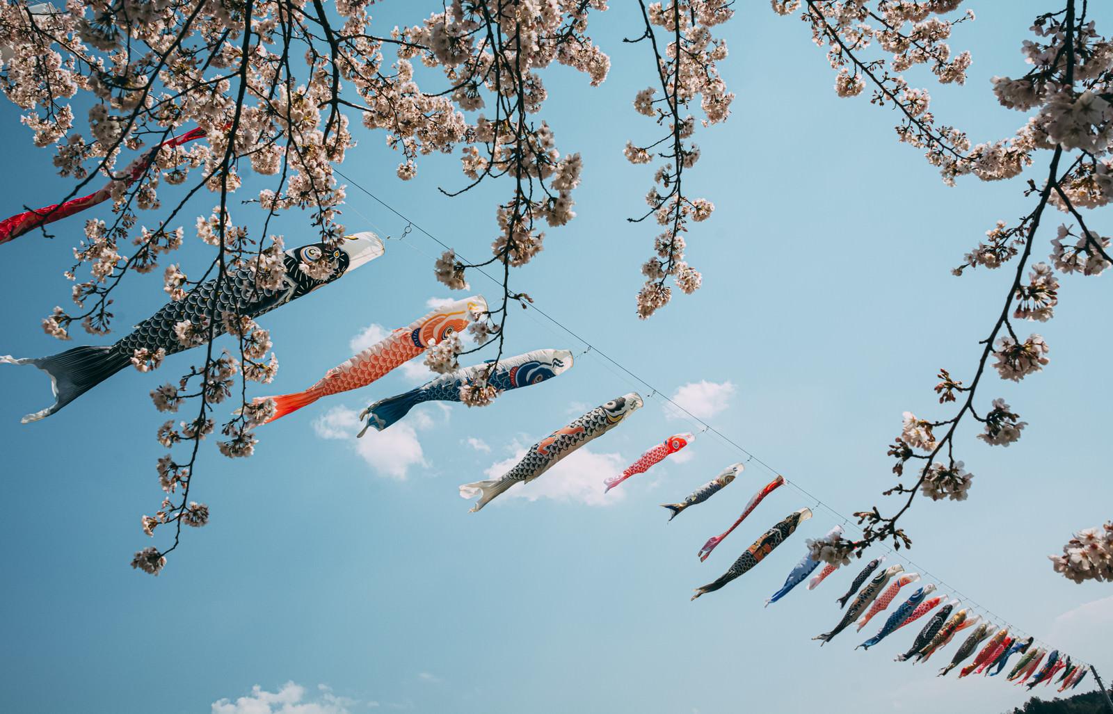 「桜の暖簾越しの鯉のぼり」の写真