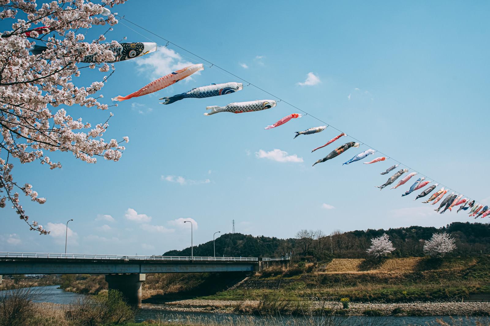 「桜の季節に川の上を気持ちよく泳ぐ沢山の鯉のぼり」の写真
