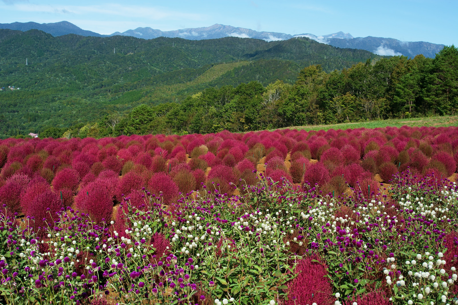 「コキアと千日紅越しの山並み」の写真