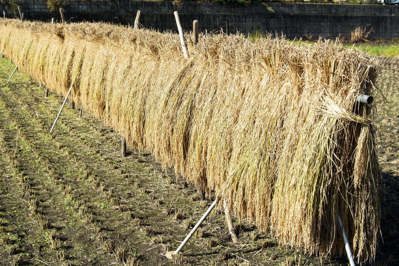「はざにかけられお日様を浴びた稲」の写真