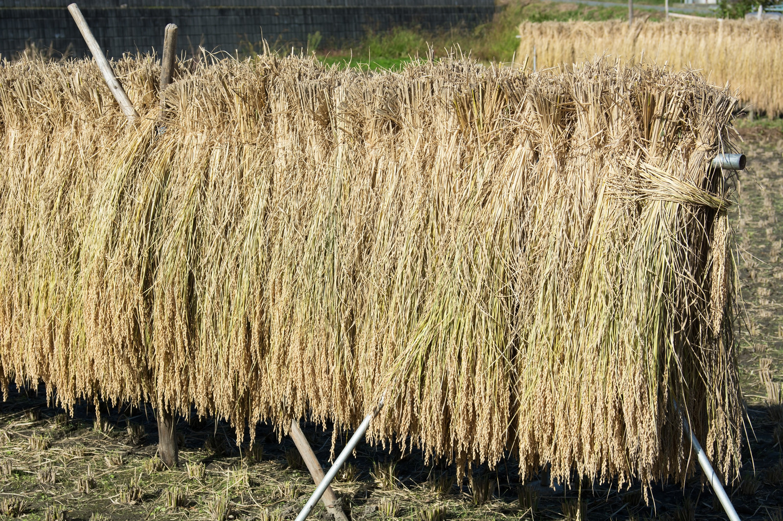 「天日干しの美味しいお米が出来そうです」の写真