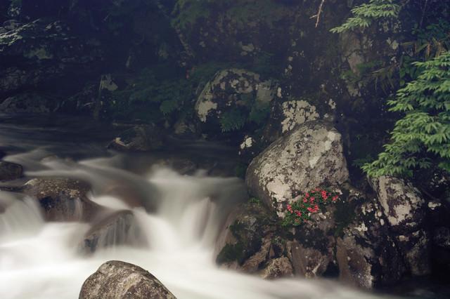 小戸名渓谷とけなげに咲く岩つつじの写真