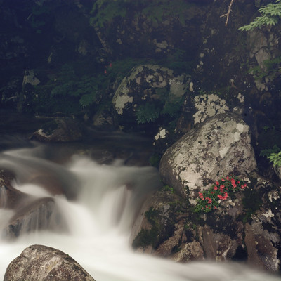 「小戸名渓谷とけなげに咲く岩つつじ」の写真素材