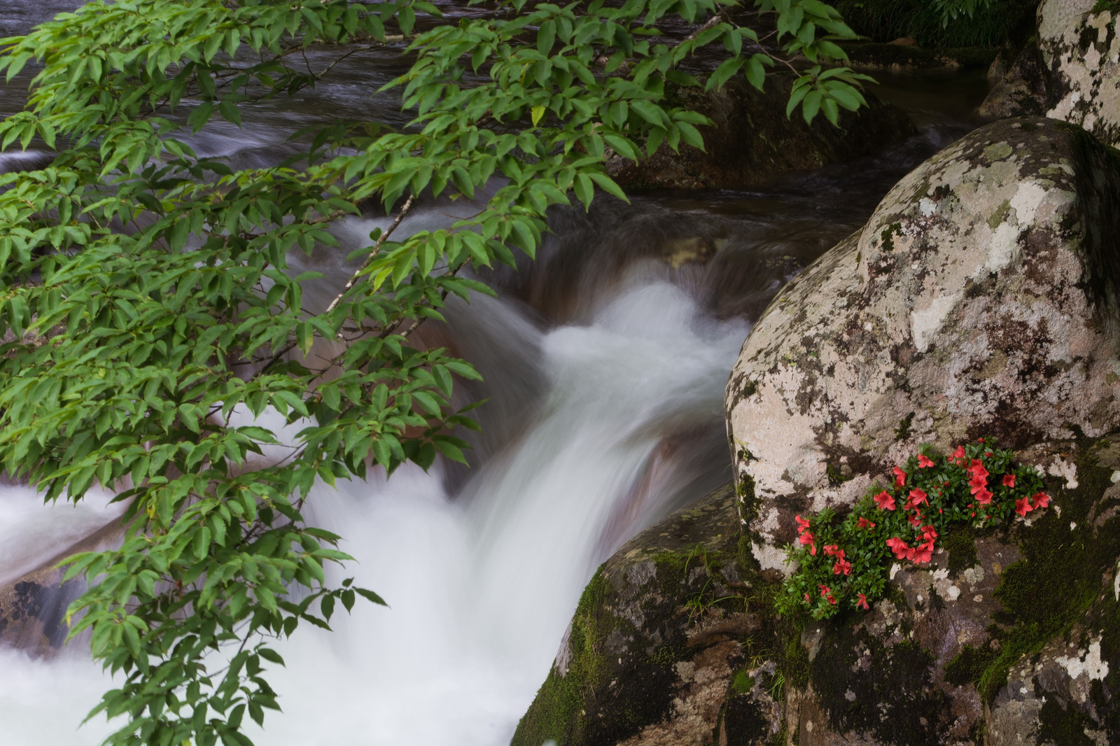 「清流と新緑と岩つつじ(小戸名渓谷)」の写真