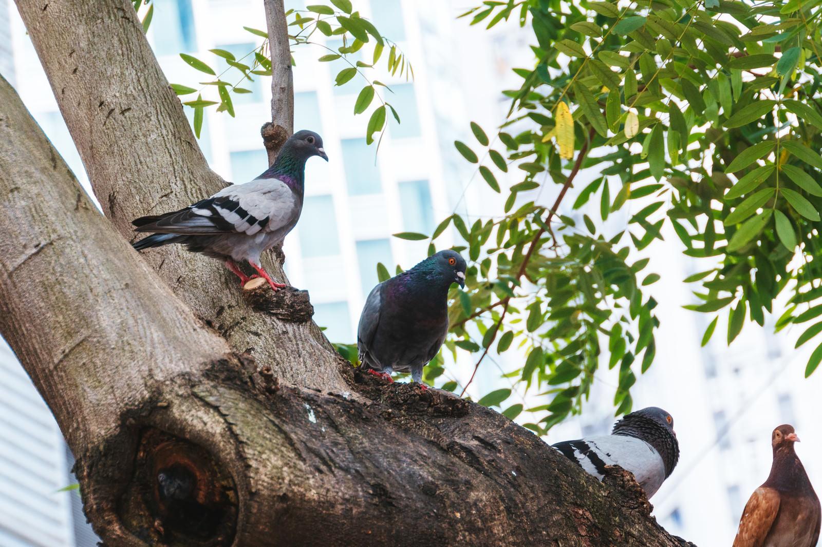 「頭上から餌を狙う鳩」の写真